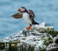 FARNE ISLES PUFFINS + OTHER WILDLIFE -JUNE 2017